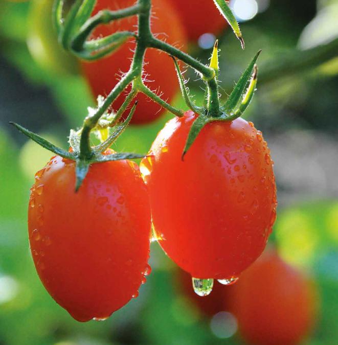 Secrets de tomates