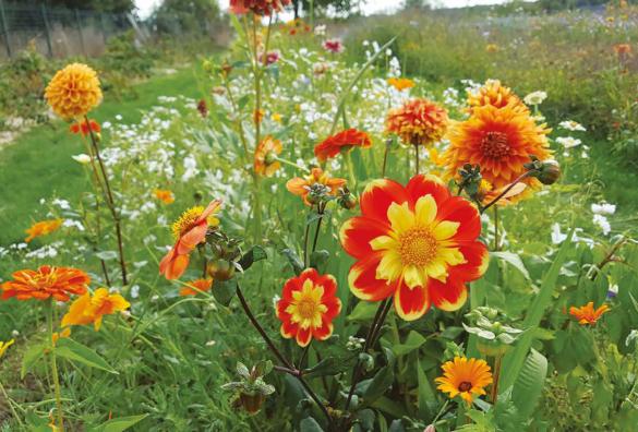 Dahlias, alliés des jardiniers
