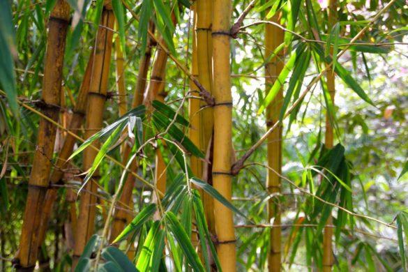 bambou plantes anti vis-à-vis