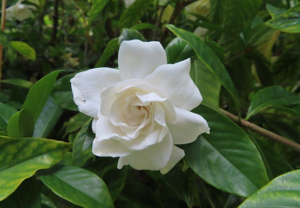 gardenia blanc